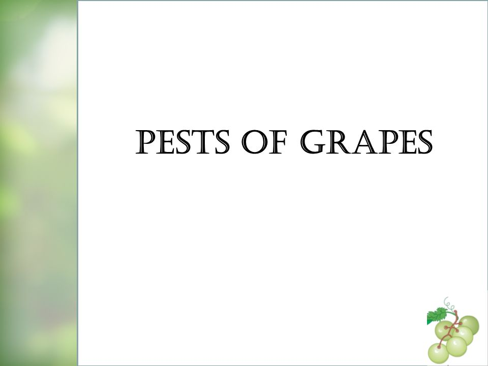 Pests of Grapes