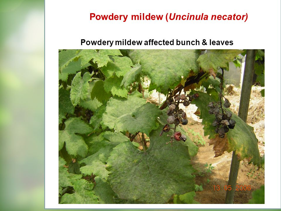 Powdery mildew affected bunch & leaves