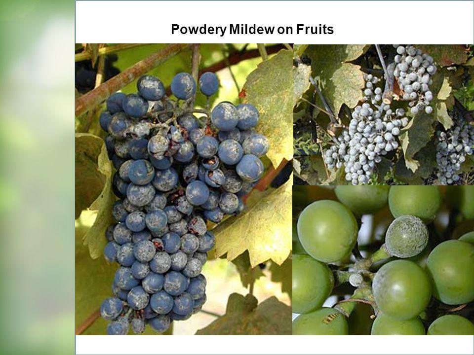 Powdery Mildew on Fruits