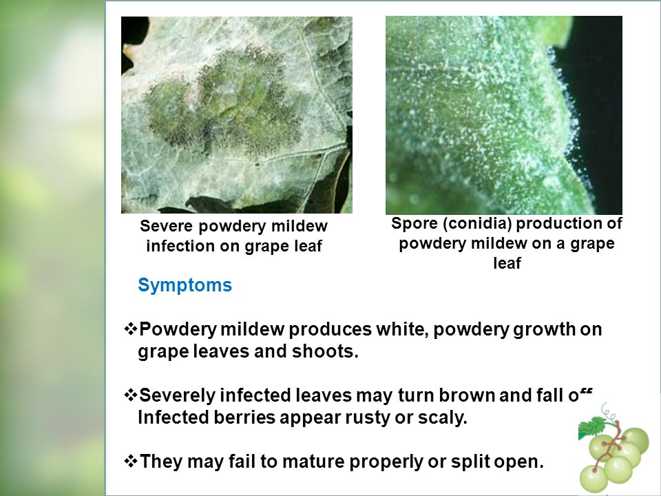 Spore (conidia) production of powdery mildew on a grape leaf
