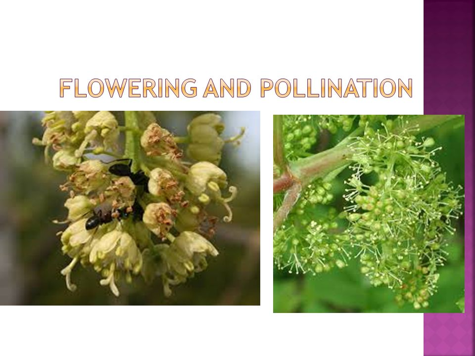 Flowering and pollination