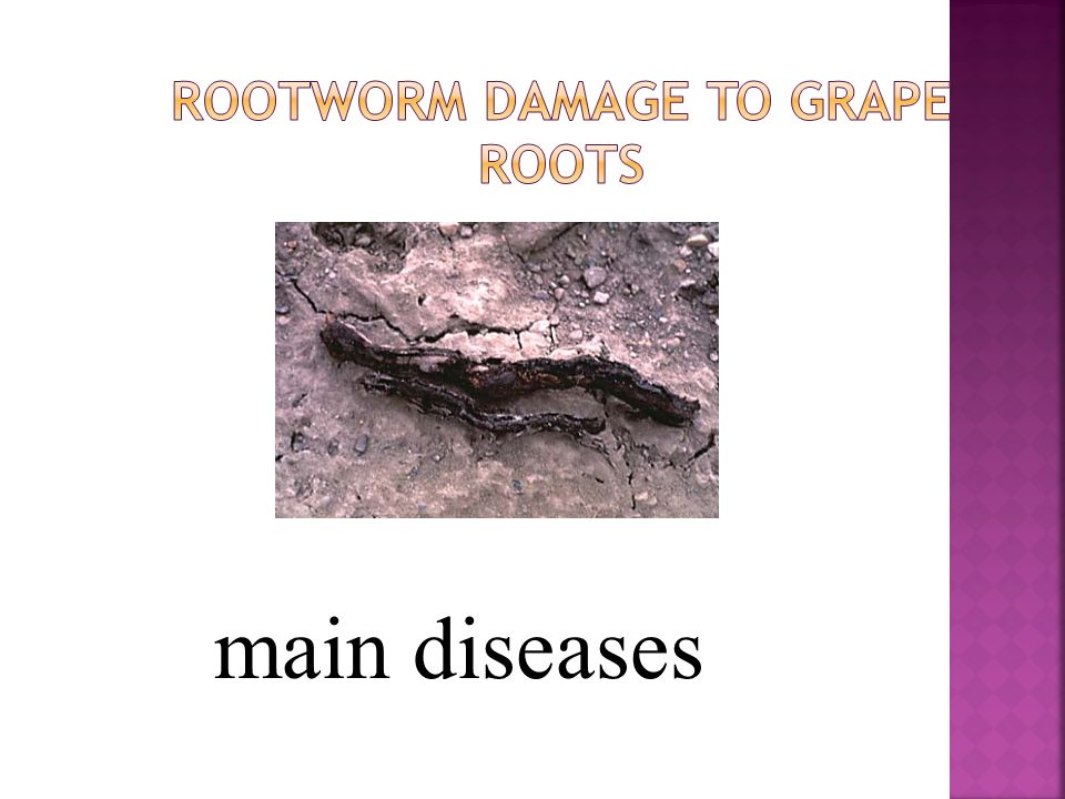Rootworm Damage to Grape Roots