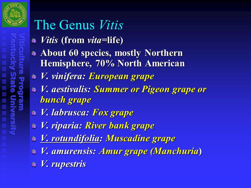 The Genus Vitis Vitis (from vita=life)