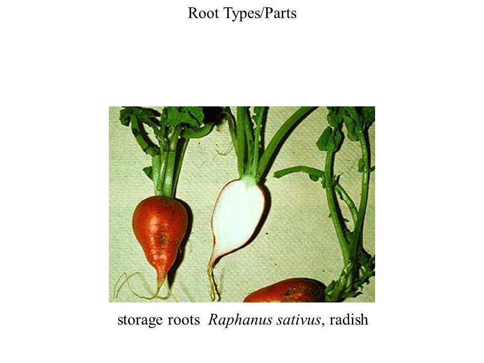 storage roots Raphanus sativus, radish
