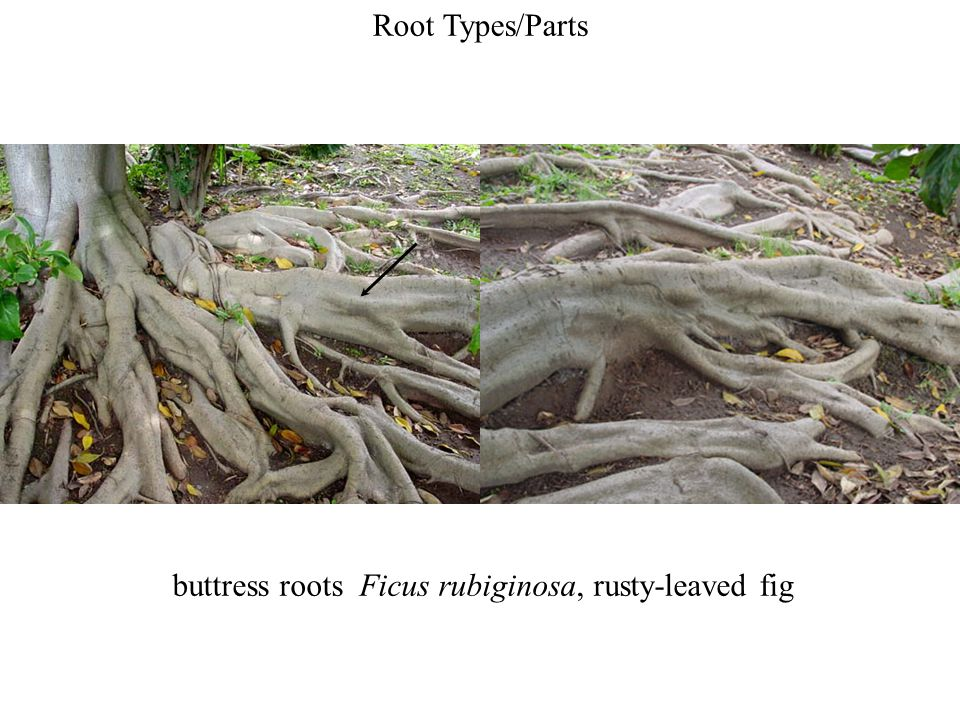 buttress roots Ficus rubiginosa, rusty-leaved fig