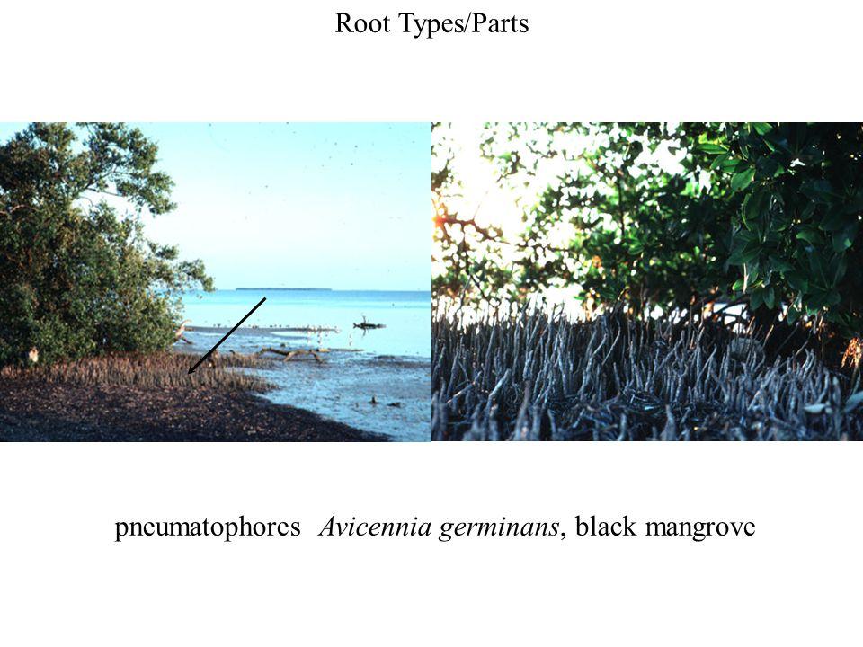 pneumatophores Avicennia germinans, black mangrove