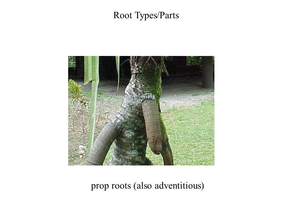 prop roots (also adventitious)