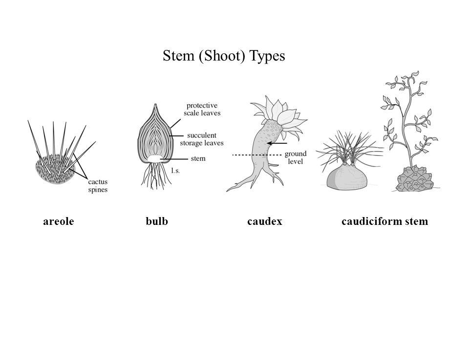 Stem (Shoot) Types areole bulb caudex caudiciform stem