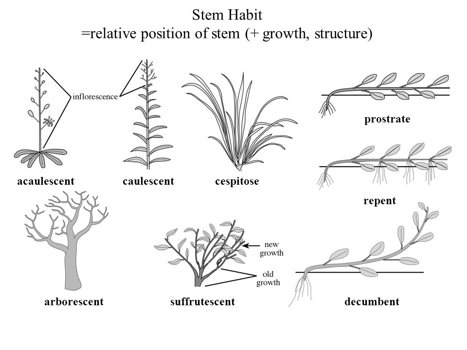 =relative position of stem (+ growth, structure)