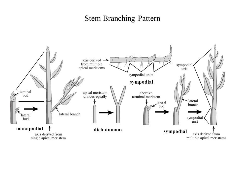 Stem Branching Pattern