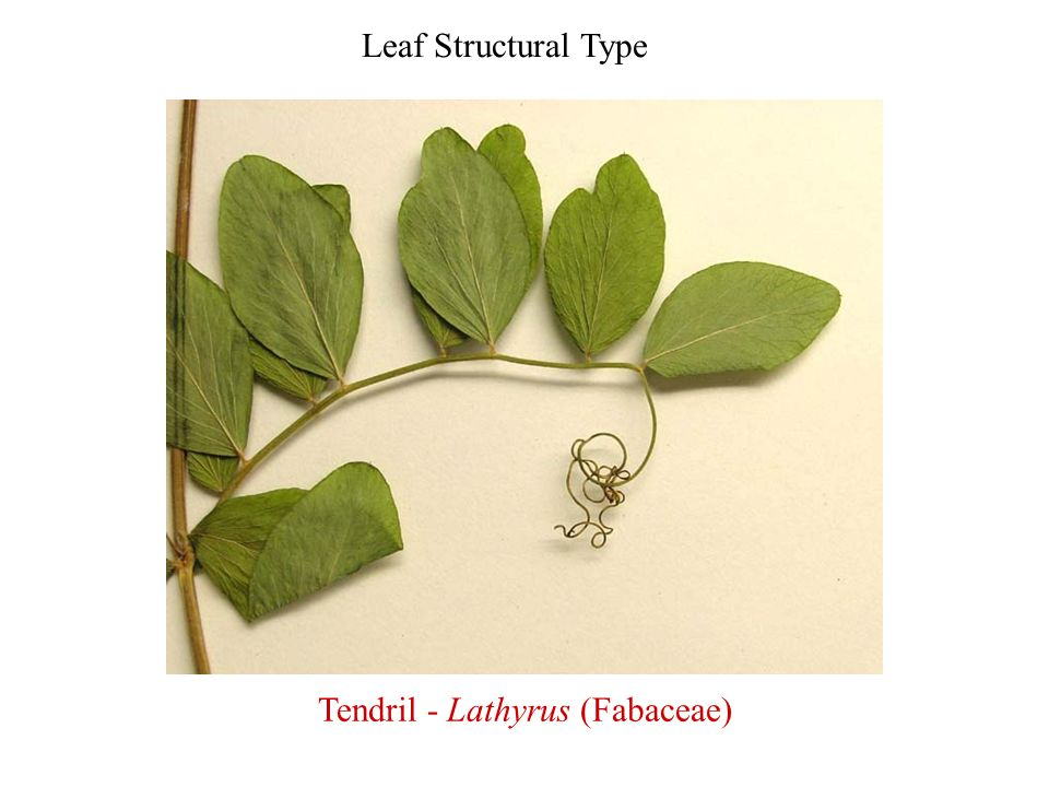 Tendril - Lathyrus (Fabaceae)
