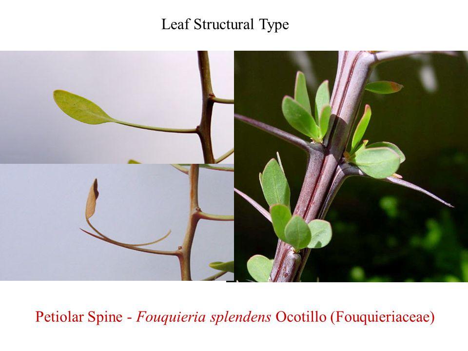 Petiolar Spine - Fouquieria splendens Ocotillo (Fouquieriaceae)