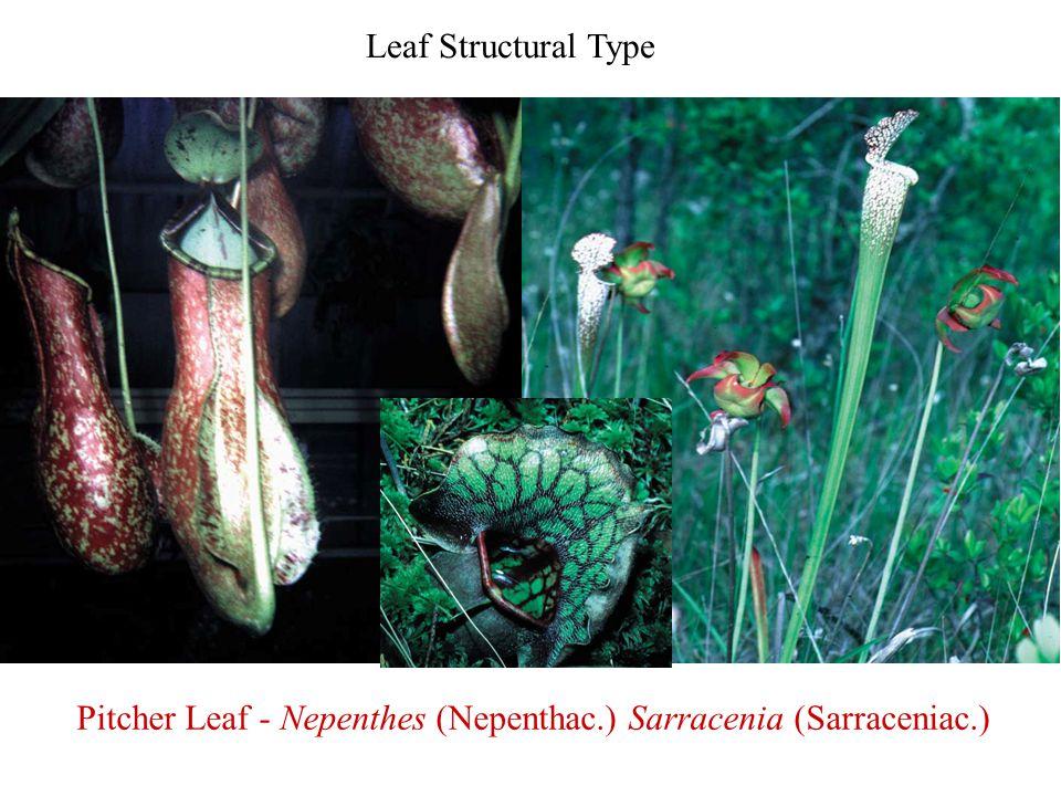Pitcher Leaf - Nepenthes (Nepenthac.) Sarracenia (Sarraceniac.)