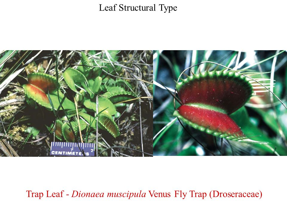 Trap Leaf - Dionaea muscipula Venus Fly Trap (Droseraceae)