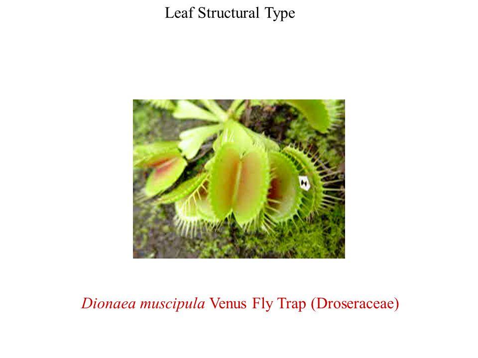 Dionaea muscipula Venus Fly Trap (Droseraceae)