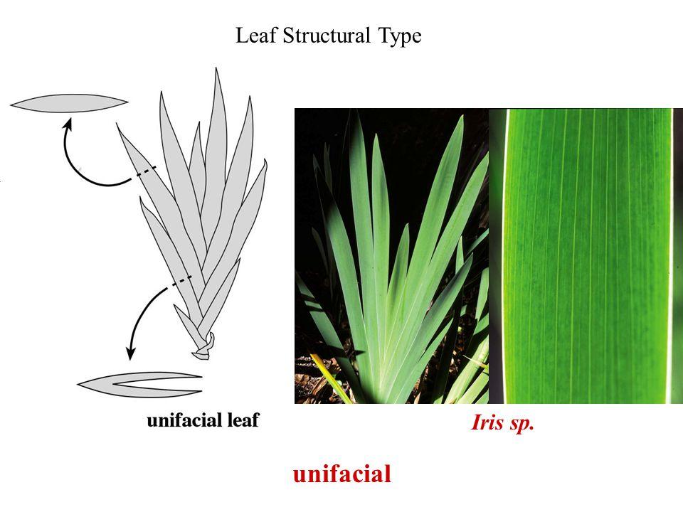Leaf Structural Type Iris sp. unifacial