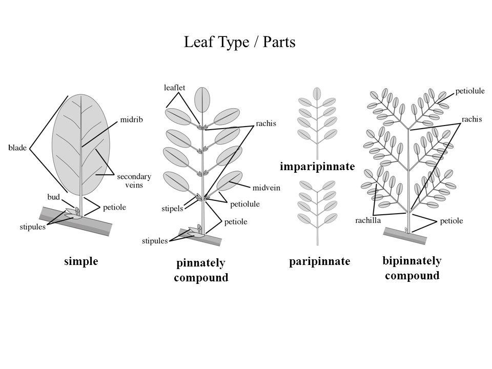 Leaf Type / Parts imparipinnate simple pinnately compound paripinnate