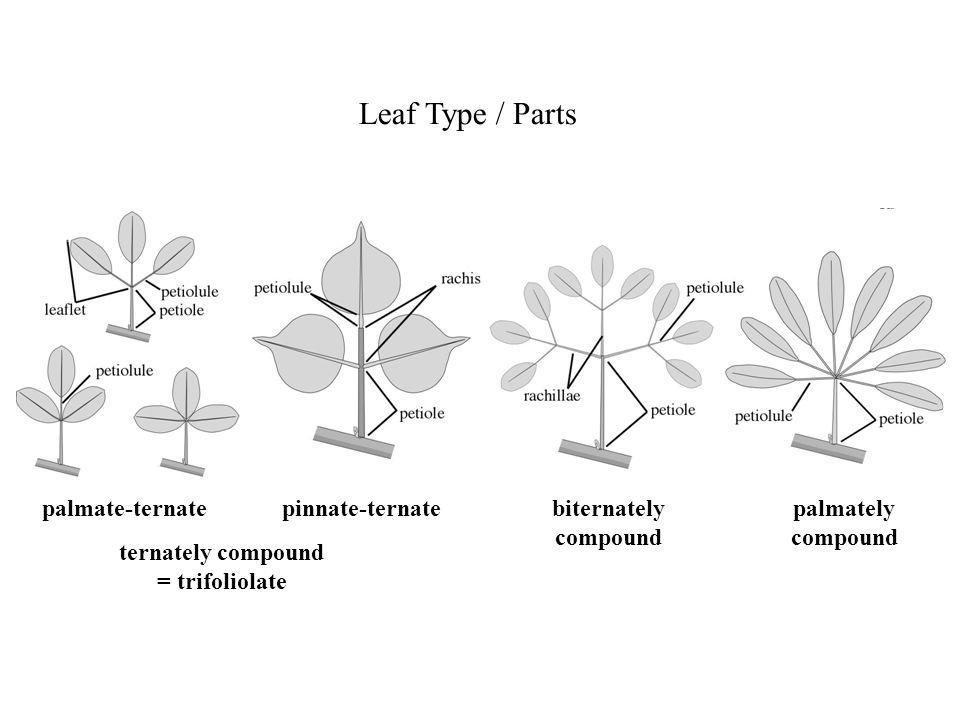 Leaf Type / Parts palmate-ternate pinnate-ternate biternately compound