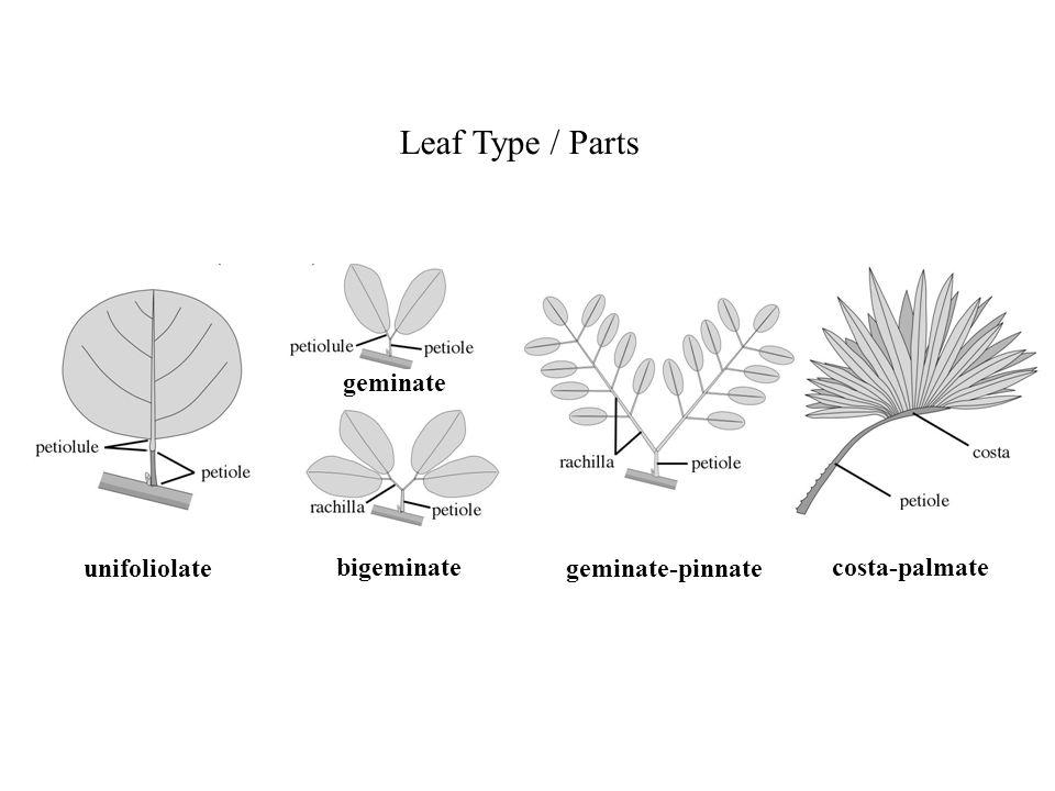 Leaf Type / Parts geminate unifoliolate bigeminate geminate-pinnate