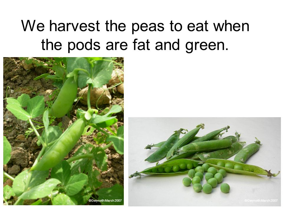 We harvest the peas to eat when the pods are fat and green.