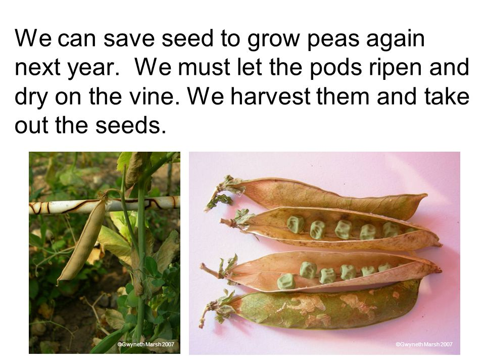 We can save seed to grow peas again next year