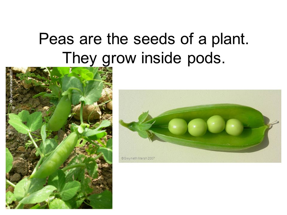 Peas are the seeds of a plant. They grow inside pods.