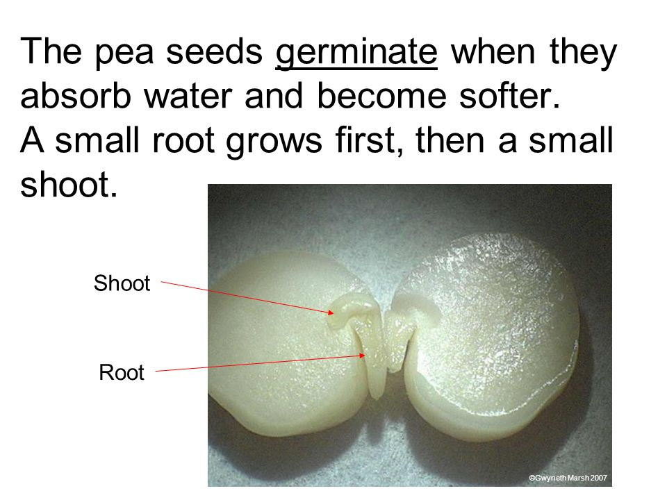 The pea seeds germinate when they absorb water and become softer