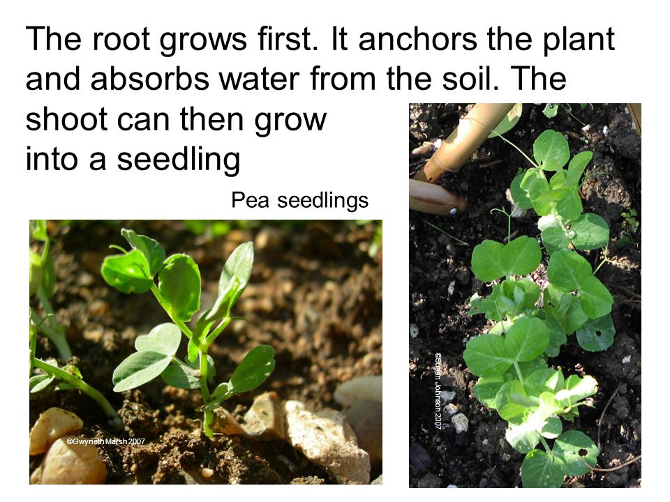 The root grows first. It anchors the plant and absorbs water from the soil. The shoot can then grow