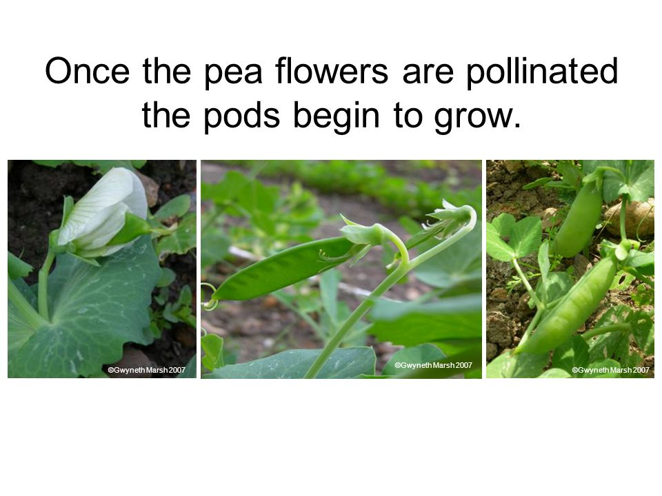 Once the pea flowers are pollinated the pods begin to grow.
