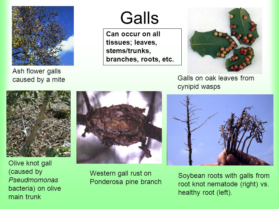 Galls Can occur on all tissues; leaves, stems/trunks, branches, roots, etc. Ash flower galls caused by a mite.