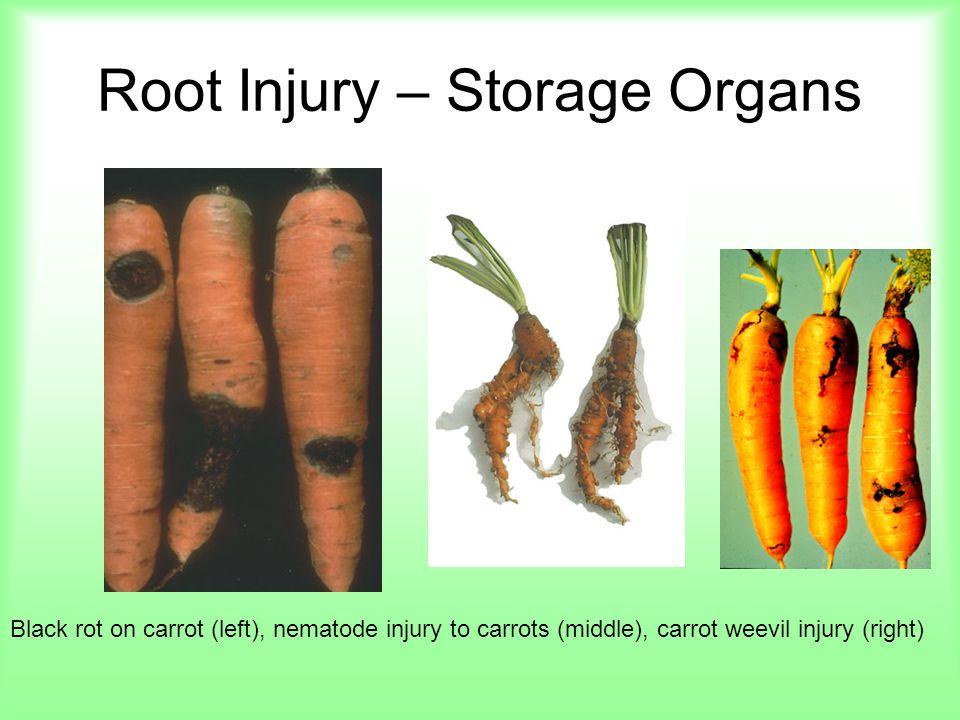 Root Injury – Storage Organs