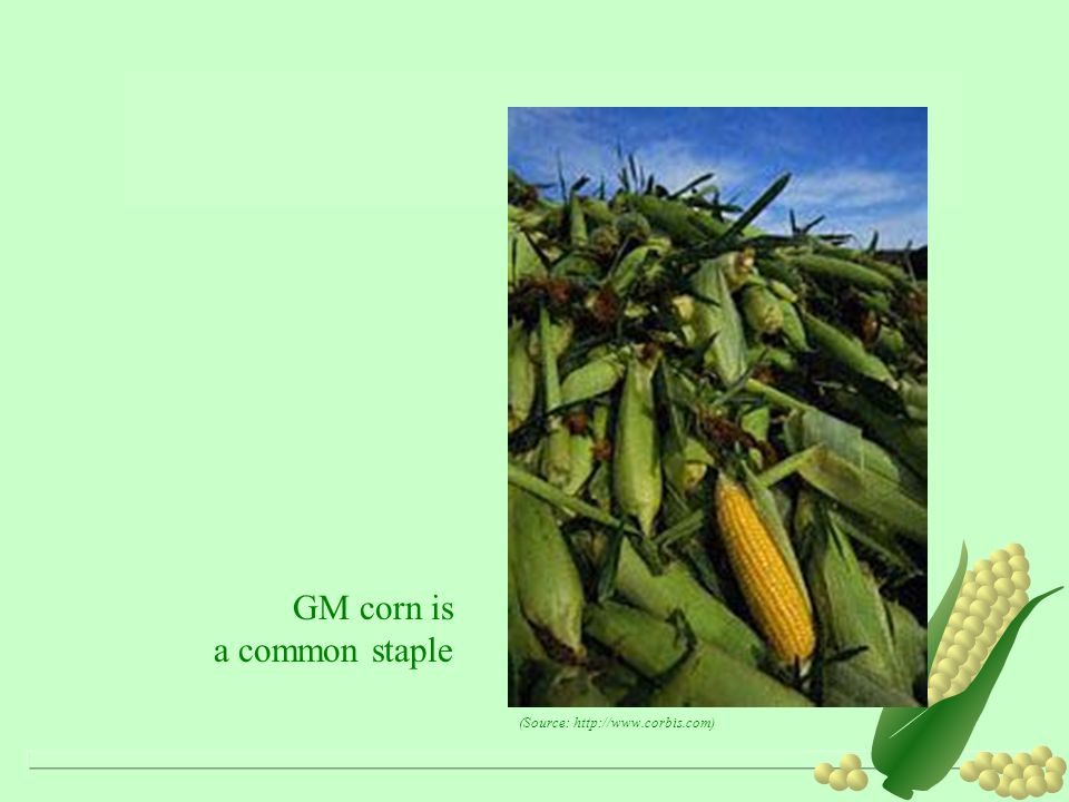 GM corn is a common staple (Source: http://www.corbis.com)