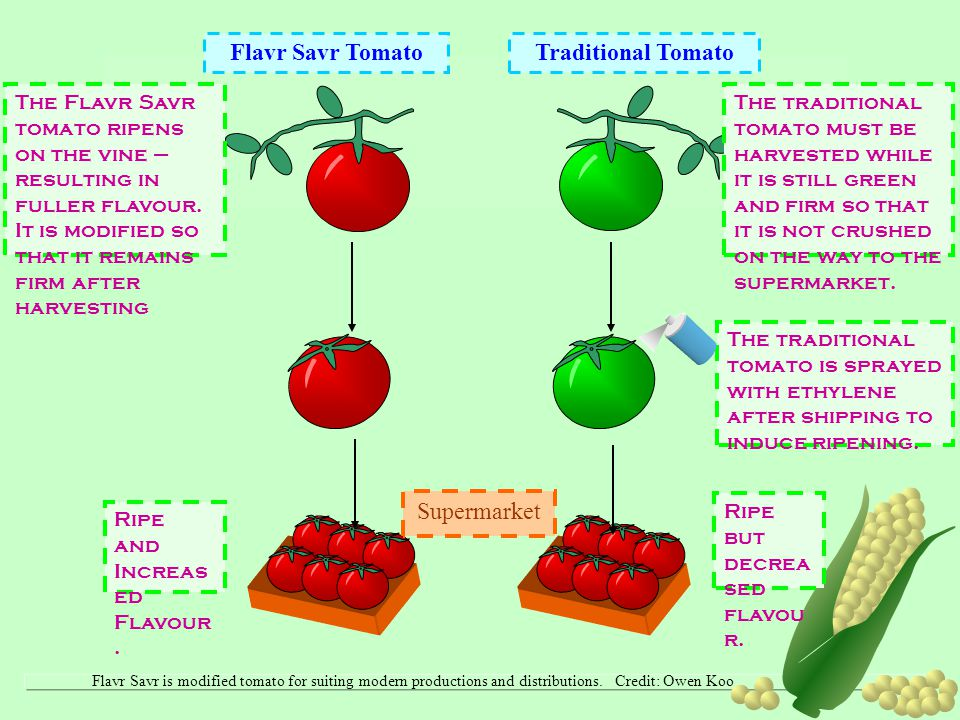 Flavr Savr Tomato Traditional Tomato