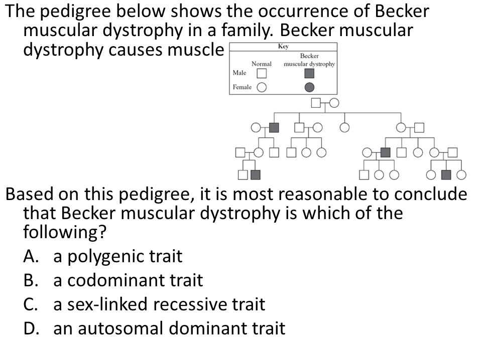 The pedigree below shows the occurrence of Becker muscular dystrophy in a family. Becker muscular dystrophy causes muscle weakness.