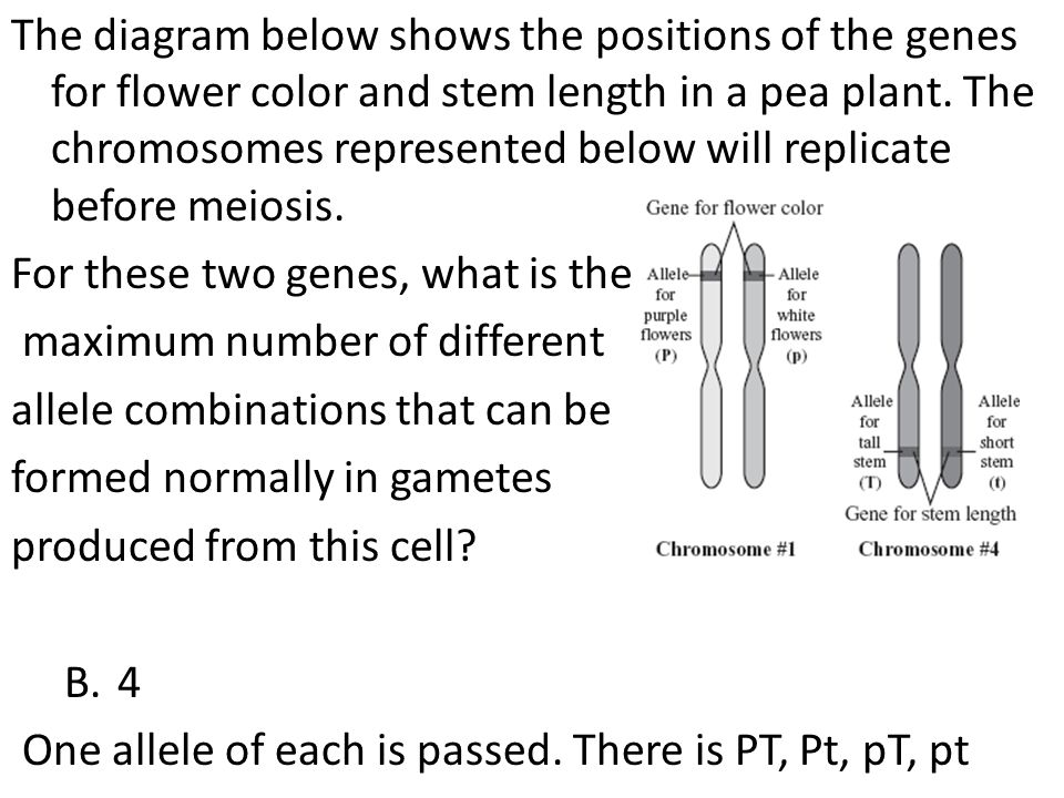 The diagram below shows the positions of the genes for flower color and stem length in a pea plant. The chromosomes represented below will replicate before meiosis.