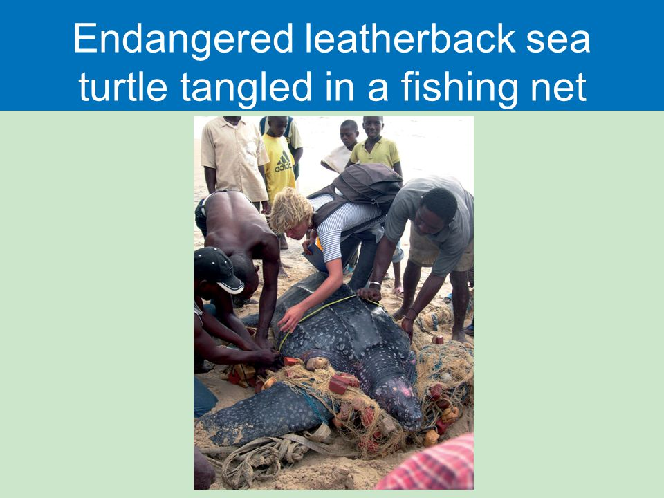 Endangered leatherback sea turtle tangled in a fishing net