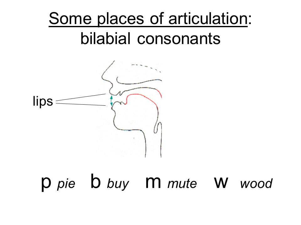 Some places of articulation: bilabial consonants
