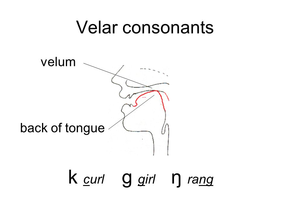 Velar consonants velum back of tongue k curl g girl ŋ rang
