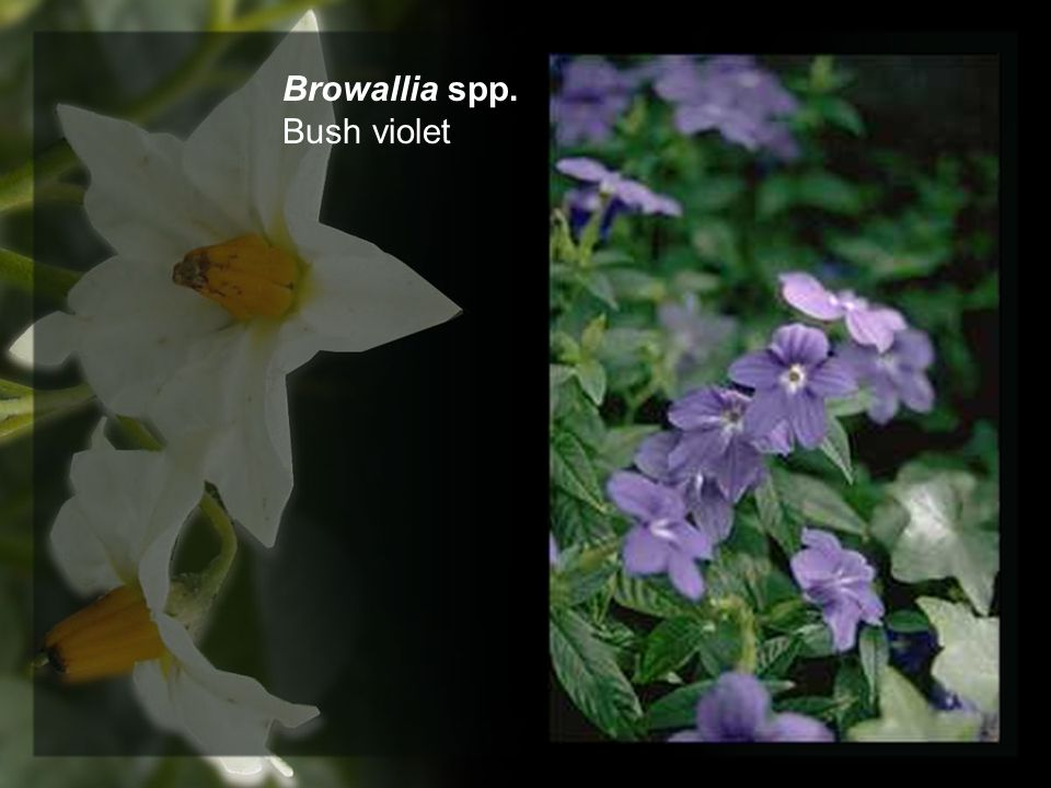 Browallia spp. Bush violet