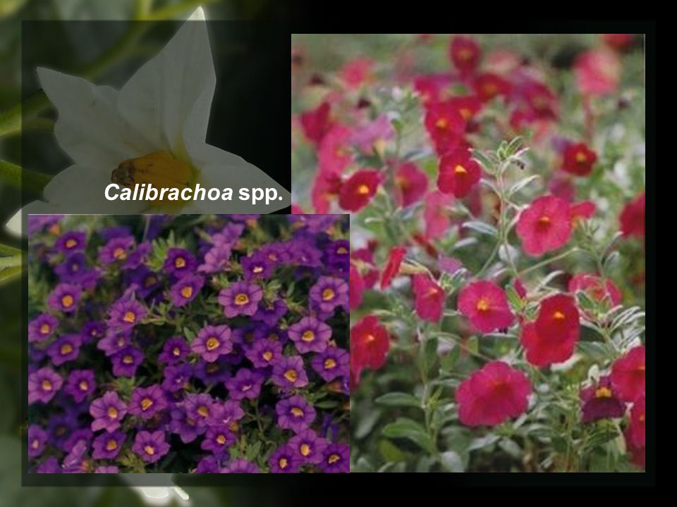 Calibrachoa spp.