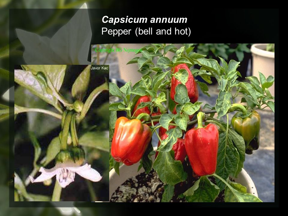 Capsicum annuum Pepper (bell and hot)