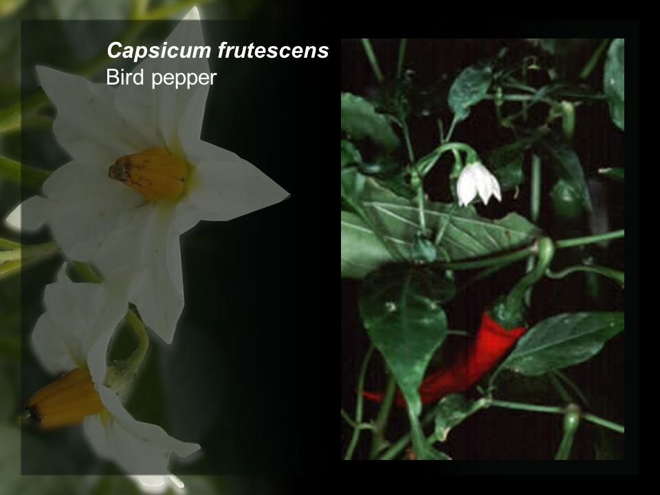 Capsicum frutescens Bird pepper