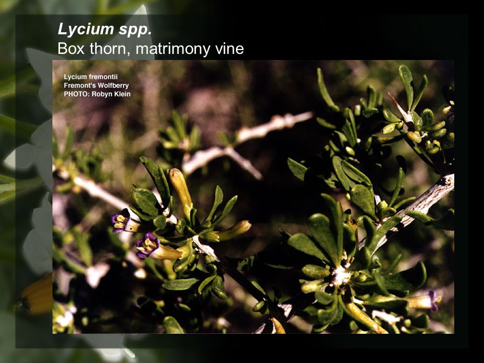 Lycium spp. Box thorn, matrimony vine