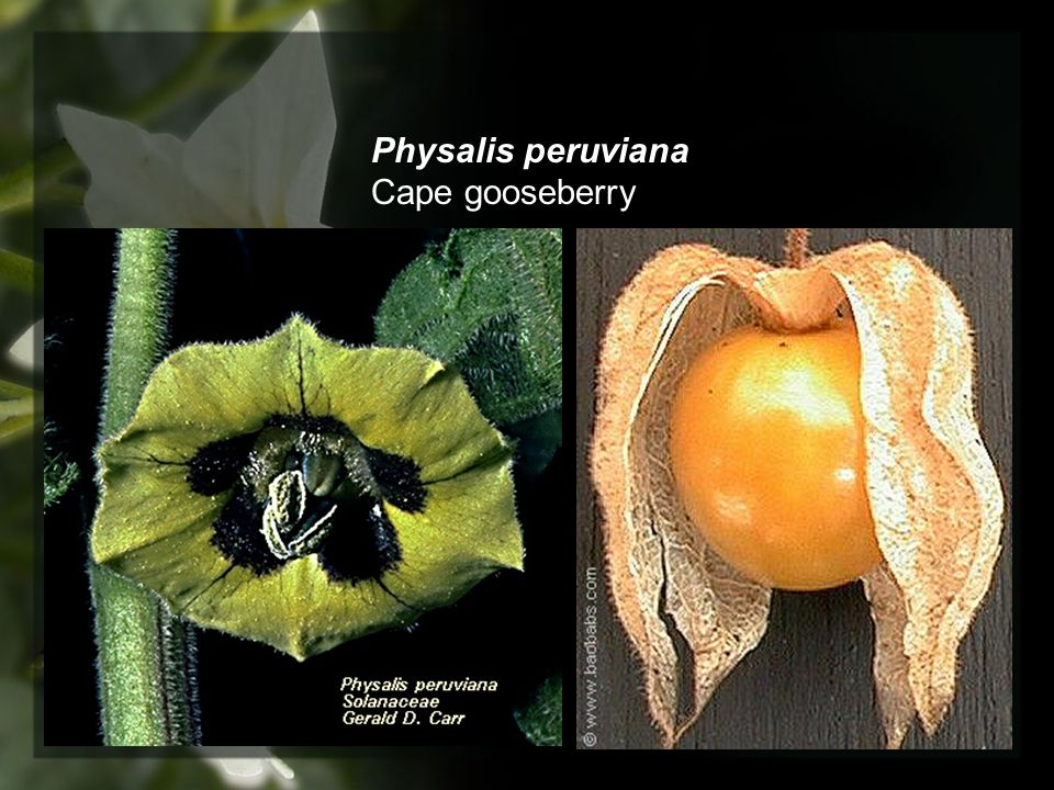 Physalis peruviana Cape gooseberry