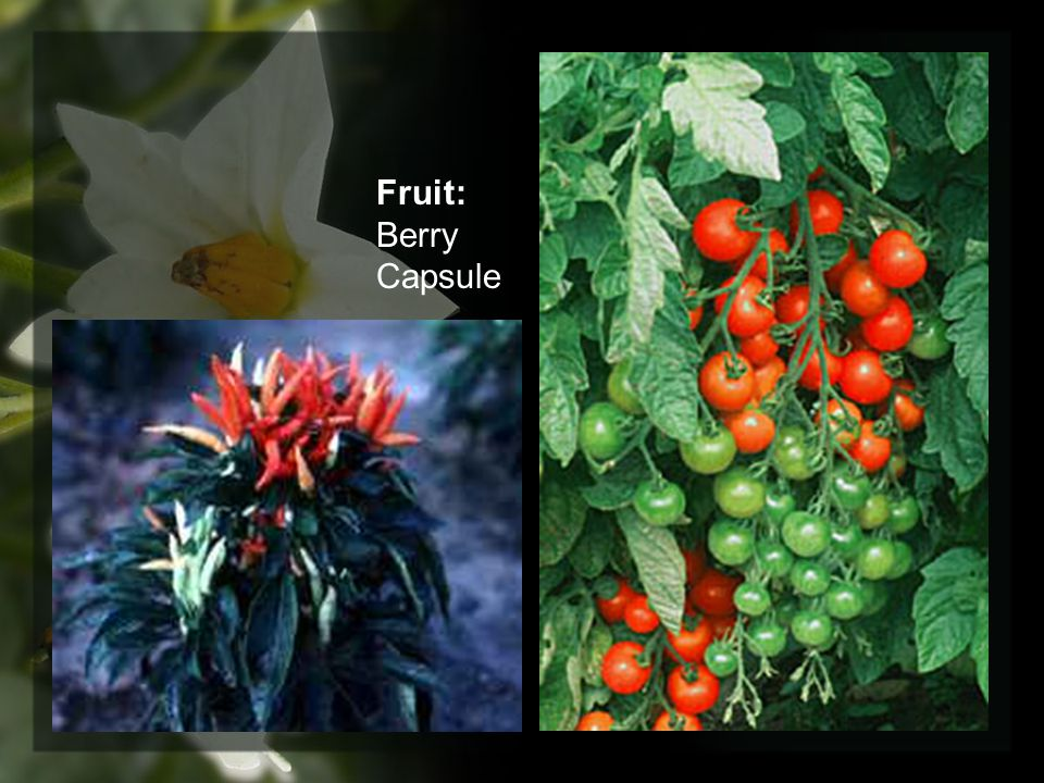 Fruit: Berry Capsule