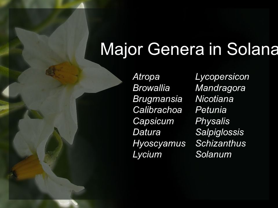 Major Genera in Solanaceae