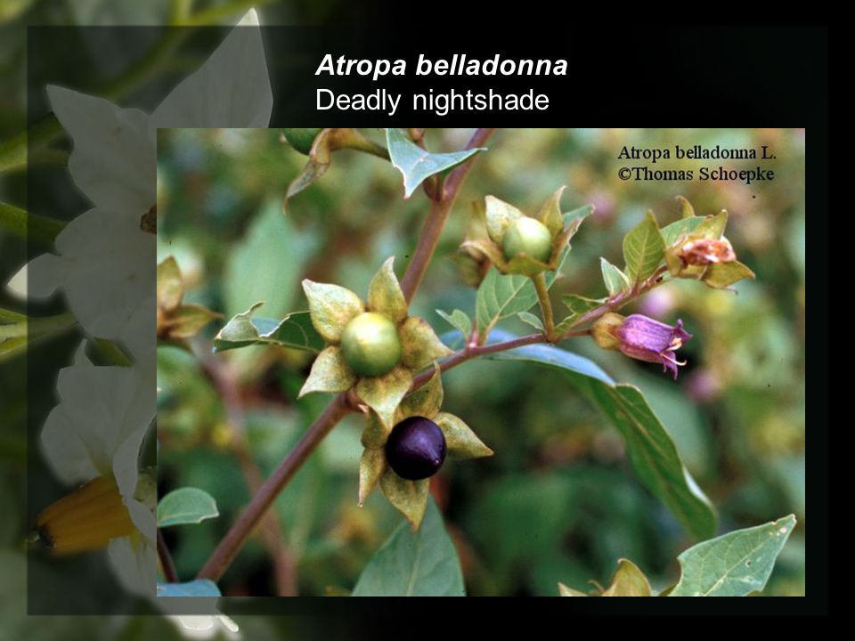 Atropa belladonna Deadly nightshade