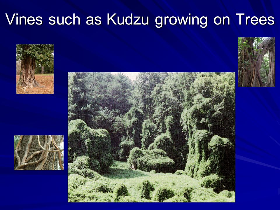 Vines such as Kudzu growing on Trees