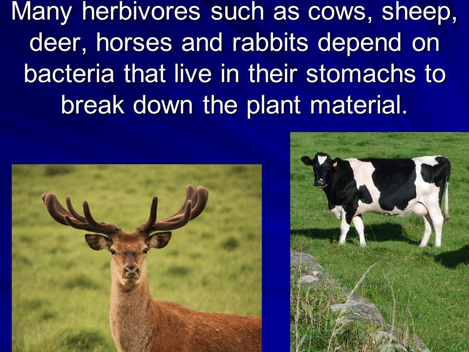 Many herbivores such as cows, sheep, deer, horses and rabbits depend on bacteria that live in their stomachs to break down the plant material.