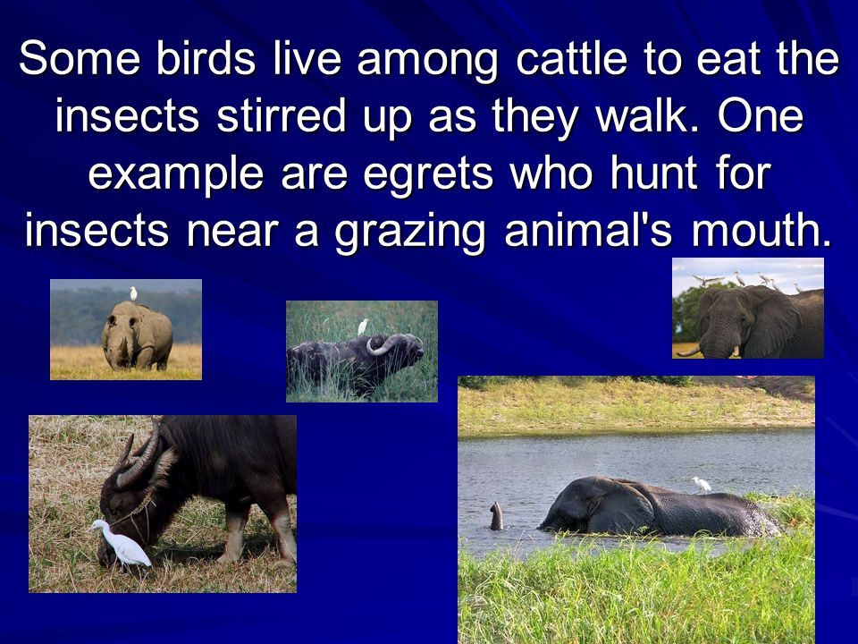 Some birds live among cattle to eat the insects stirred up as they walk.